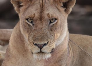 Africa - Lioness (Blue Ant Media)